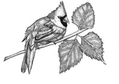 Moriah Sanborn, Cardinal, Pen & Ink